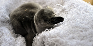 2013-04-SeaLifePinguinBaby